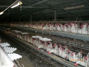 800px-Industrial-Chicken-Coop
